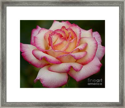 Framed Print featuring the photograph Rose Beauty by Debby Pueschel