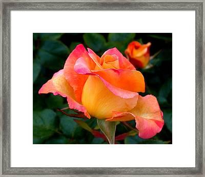 Rose Beauty Framed Print by Rona Black