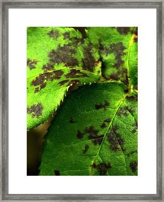 Rose Black Spot Framed Print by Ian Gowland