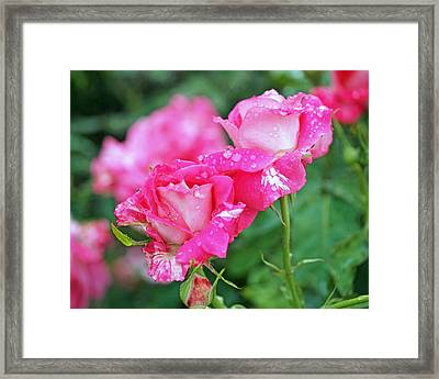 Rose Bonbons Framed Print by Rona Black