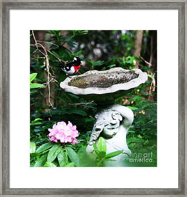 Rose Breasted Grosbeak Framed Print by Jinx Farmer