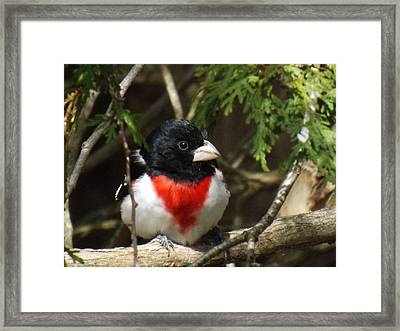 Rose Breasted Grosbeak Perched Framed Print by Brenda Brown