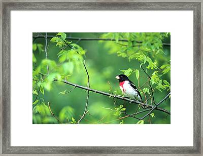 Rose-breasted Grosbeak (pheucticus Framed Print by Richard and Susan Day