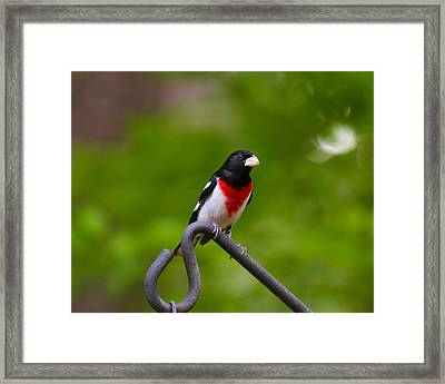 Rose Breasted Grosbeak Framed Print by Robert L Jackson
