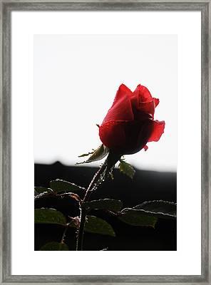 Rose Bud 2011 Framed Print by Leon Hollins III