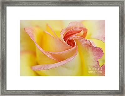 Rose Bud Opening Framed Print