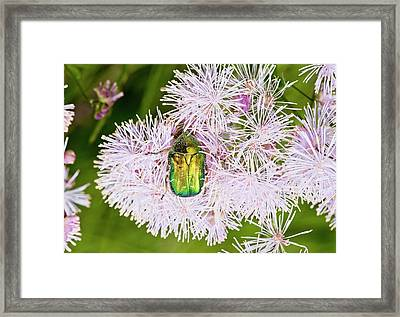 Rose Chafer On Meadow-rue Flowers Framed Print by Bob Gibbons