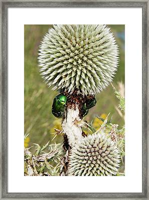Rose Chafers And Ants On Thistle Flowers Framed Print by Bob Gibbons