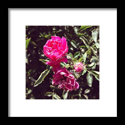 Roses Framed Prints