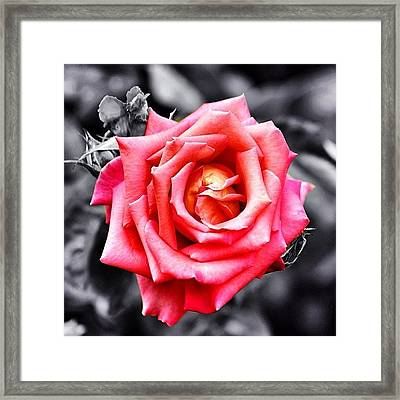 #rose #colorsplash #fiore #rosa Framed Print