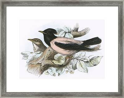 Rose Coloured Starling Framed Print by English School