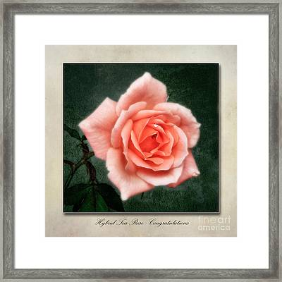 Rose Congratulations Framed Print by John Edwards