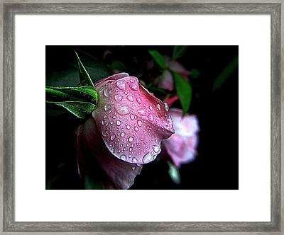 Rose Drops Framed Print by Suzy Piatt