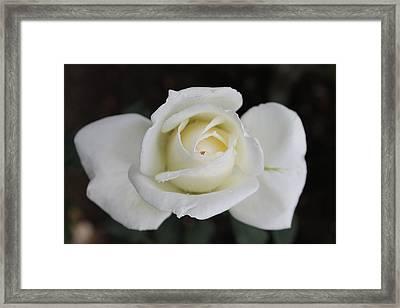 Rose Flower Framed Print by Amila Madushanka