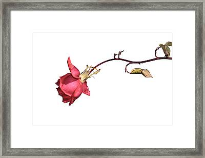 Rose For Isabel Framed Print