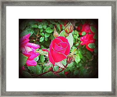 Rose Garden Centerpiece 2 Framed Print by Pamela Hyde Wilson