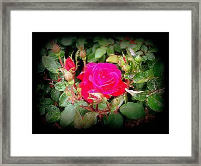 Rose Garden Centerpiece Framed Print by Pamela Hyde Wilson