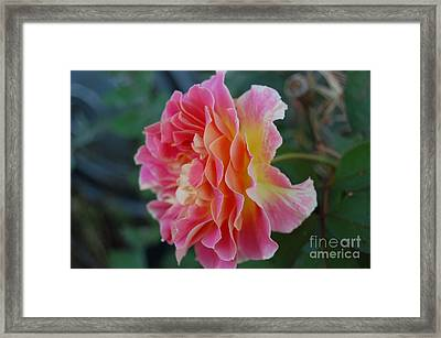 Rose Garden Framed Print by Garnett  Jaeger