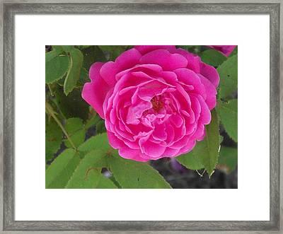Rose Gem Framed Print by James Rishel