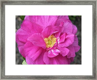 Framed Print featuring the photograph Rose by Gene Cyr