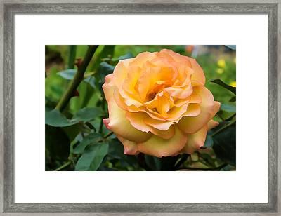 Early Summer Blooms Impressions - Elegant Peach Rose Framed Print