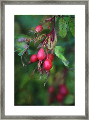Rose Hips Framed Print by Shirley Sirois