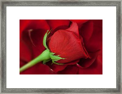 Rose II Framed Print by Andreas Freund
