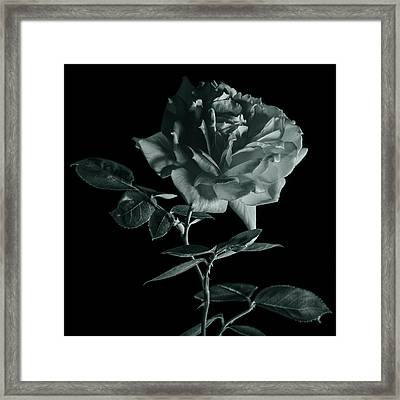 Rose In Monochrome Framed Print by Vishwanath Bhat