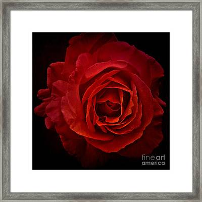 Rose In Red Framed Print