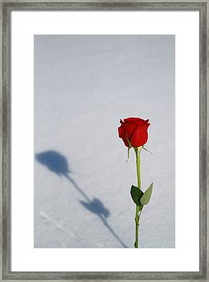 Rose In Snow Spring Approaches Framed Print by Dan Sproul