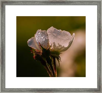 Rose In The Morning Framed Print