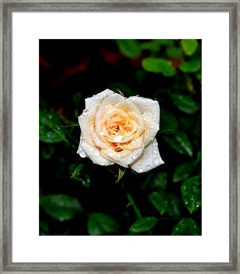 Rose In The Rain Framed Print by Deena Stoddard