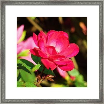 Rose Intensity Framed Print by Van Ness