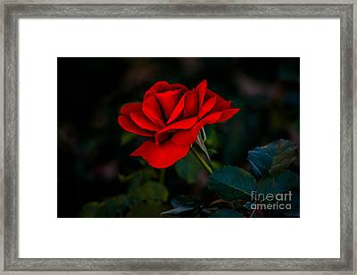 Rose Is A Rose Framed Print by Robert Bales
