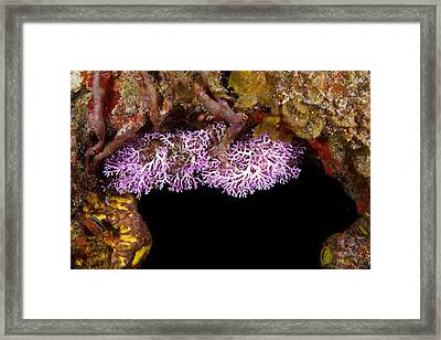 Rose Lace Coral Framed Print by Andrew J. Martinez