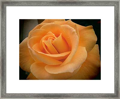 Framed Print featuring the photograph Rose by Laurel Powell