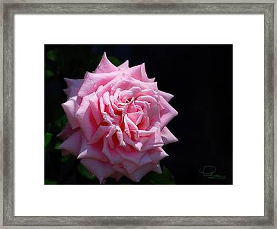 Rose Framed Print by Ludwig Keck