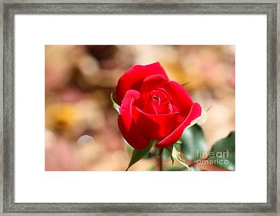 Rose Morning Framed Print by Cathy Dee Janes