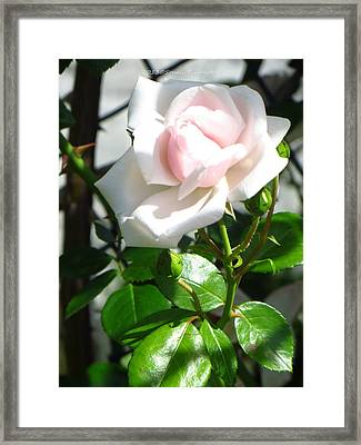 Rose Named Pearl Framed Print