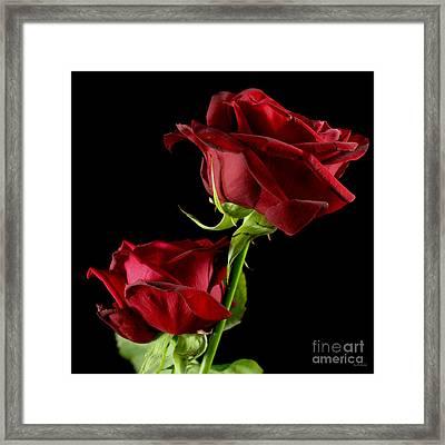 Rose Of Love Framed Print by Wobblymol Davis