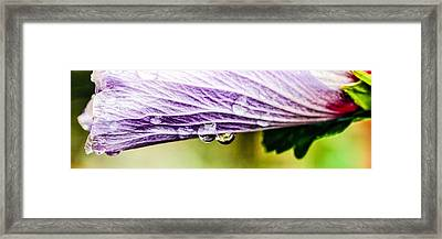 Framed Print featuring the photograph Rose Of Sharon by Cathy Donohoue