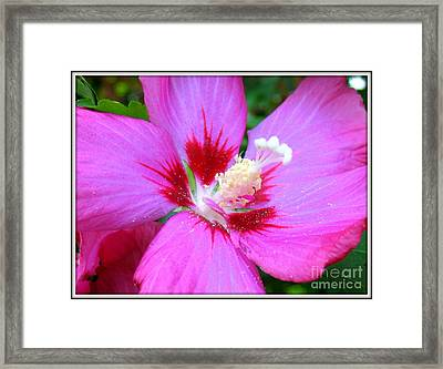 Rose Of Sharon Hibiscus Framed Print by Patti Whitten