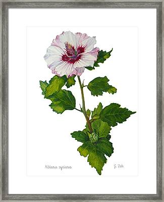 Rose Of Sharon - Hibiscus Syriacus Framed Print by Janet  Zeh