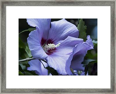 Rose Of Sharon Framed Print by Rebecca Samler
