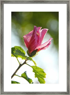 Framed Print featuring the photograph Rose Of Sharon by Susan D Moody