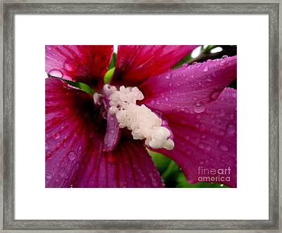 Rose Of Sharon Wet Framed Print by Margaret Newcomb