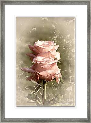 Rose Old-fashioned Framed Print by Stefano Senise