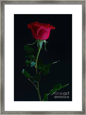 Rose On Black Framed Print by Svitlana Imnadze