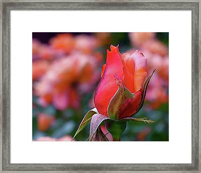 Rose On Rose Framed Print by Rona Black