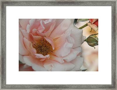 Rose - One Of A Kind Framed Print by Dervent Wiltshire